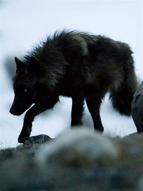black wolf 532 best the blood moons images on wolves and character