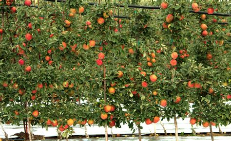 fruit trees wa what s fresh in washington state fresh from oregon