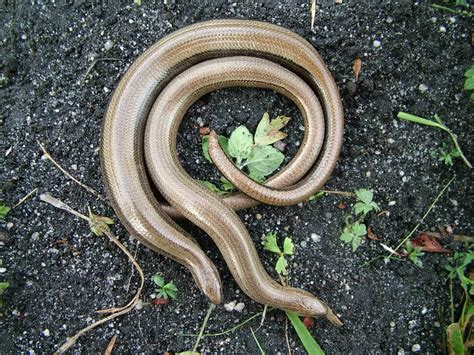 Garden Snake Facts How Did An Adder Get In My Bedroom Reptiles And