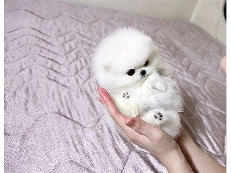 pomeranian breeders usa teacup pomeranian puppies ready animals new york city new york announcement 24554