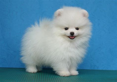 Types Of Small Dogs With Hair by Small White Breeds Hair Pet Photos