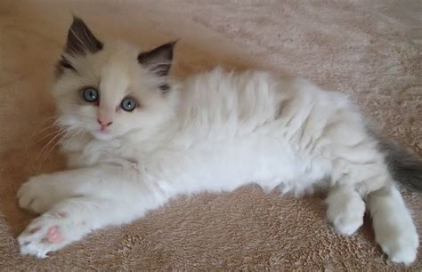 a ragdoll kitten care guide ragdoll kitten seal bicolor with paws crossed floppycats