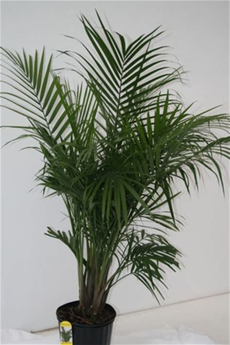 alpha botanical majesty palm plant care profile