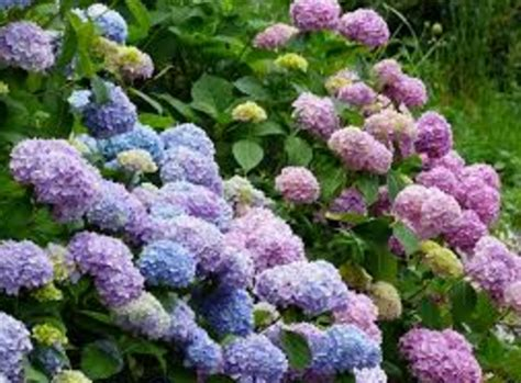 Bunga Hias Hydrangea cara memperbanyak bunga hydrangea kebunbudidaya
