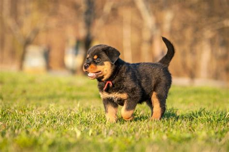 characteristics of a rottweiler five universal personality traits of the rottweiler pets4homes