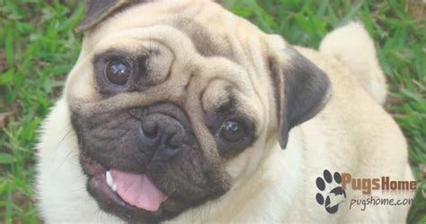 pugs for sale las vegas guide to pug puppies for sale in las vegas