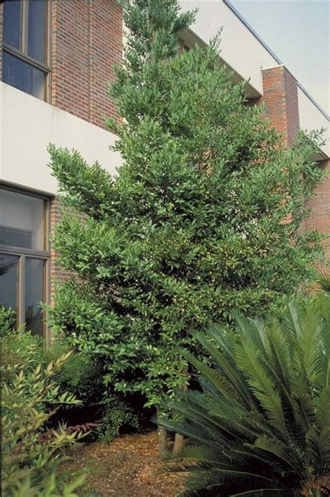 Florida Home Designs nagi podocarpus tree selection landscape plants