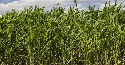 sorghum sudan grass seed images frompo 1