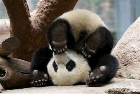 blue black and wight panda cute black and white panda colors photo 34711841 fanpop