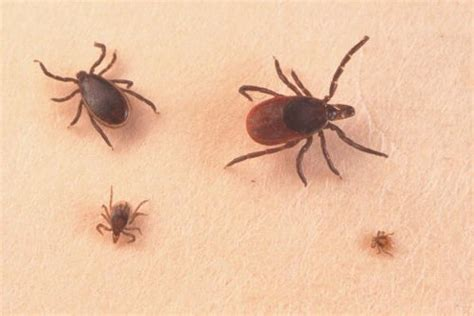 ticks in house tick pest control centurion pest control