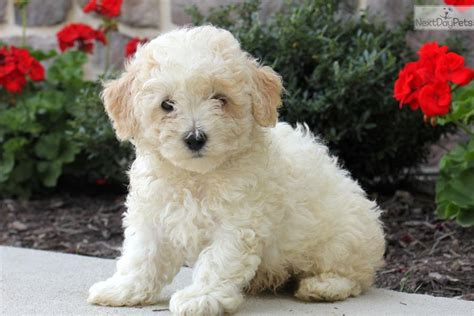 bichpoo puppies poo bichpoo puppy for sale near lancaster pennsylvania 52527f75 3e51