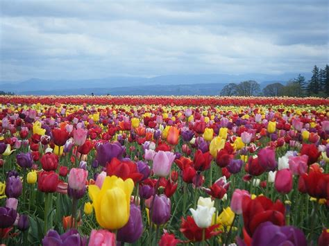 tulip fields tulip fields of holland flowers pinterest