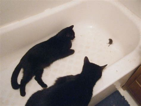 mouse in bathtub daily photo reprise one thankful mousie the creative cat