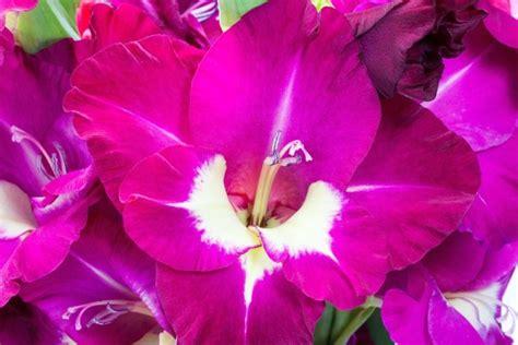 gladioli fiori gladiolo gladiolus consigli coltivazione e cura