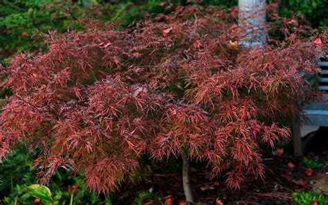 japanese maple tree leaves photosynthesis 18 best images about plants on cloaks trumpet and unique plants