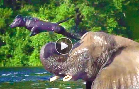 Dog & Elephant Best Friends Swimming
