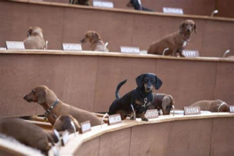 un dogs un goes to the wiener dogs in performance show toronto