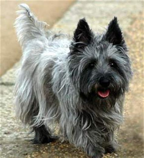 toto breed 25 best ideas about cairn terriers on cairn terrier puppies cairn