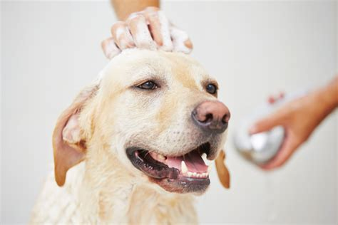 how often should i wash my golden retriever ask a vet how often should i bathe my iheartdogs