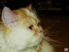 Kandang Kucing Cibinong cat kucing angora