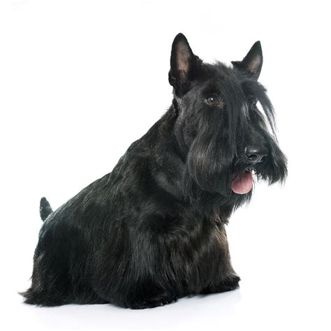 breeds that can t swim they don t like water pets world scottish terrier