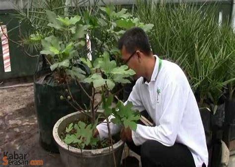 Bibit Tin Di Palembang budidaya buah tin dari iseng kini jadi tumpuan ekonomi