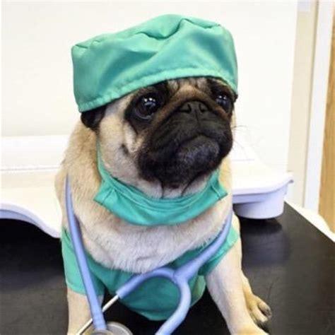 dr who pug dr pug premedicalpug
