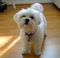 haircutsfordogs poodlemix dog grooming styles on pinterest maltese maltese