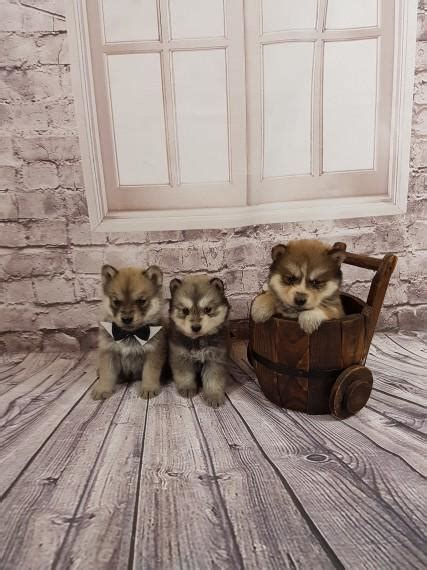 chowski puppies for sale siberian husky genuine chowsky chowski puppies for sale dogs buy or for sale price