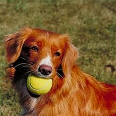 duck tolling retriever puppies for sale scotia duck tolling retriever puppies for sale