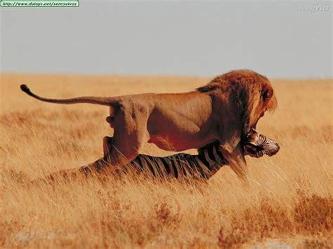 imagenes de leones apariandose los leones los reyes de la selva taringa