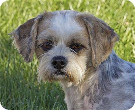 beagle shih tzu mix fairview heights il beagle shih tzu mix meet journey a for adoption