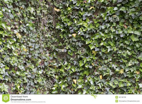 climbing plants for walls evergreen ancient castle wall with stock photo image