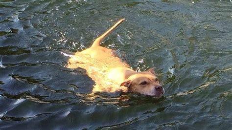 Sunrise Bathtub Dog Fights Back Against Crocodile In Key Largo