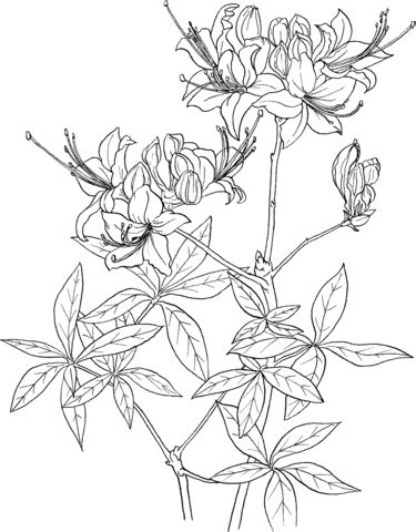rhododendron calendulaceum or flame azalea coloring page