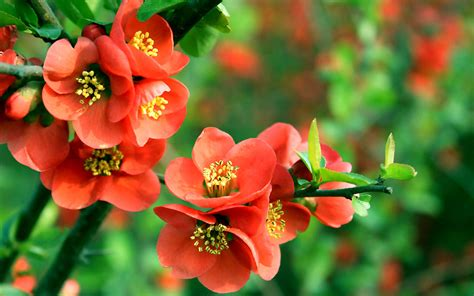 flower wallpaper new 2015 begonia flower wallpaper