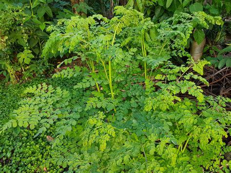 Teh Moringa file kalamunggay moringa oleifera philippines jpg