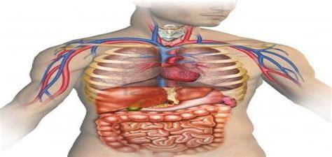 organi interni corpo umano lato destro ǡ