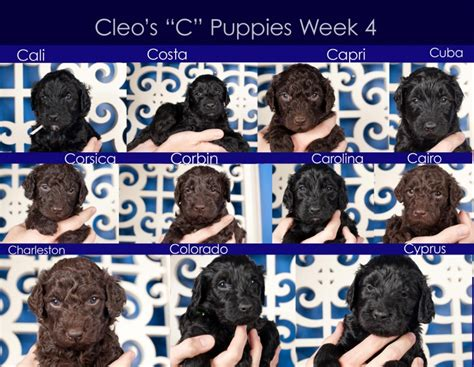 puppies week by week cleo s 4 week barbet puppy photo updates american barbet