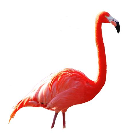 Lu Baret flamants roses canet recherche flamants roses