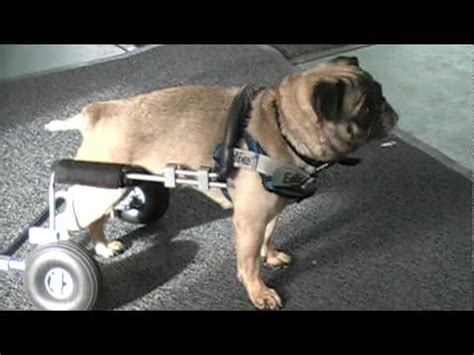 pug in a wheelchair roselyn the pug in custom wheelchair