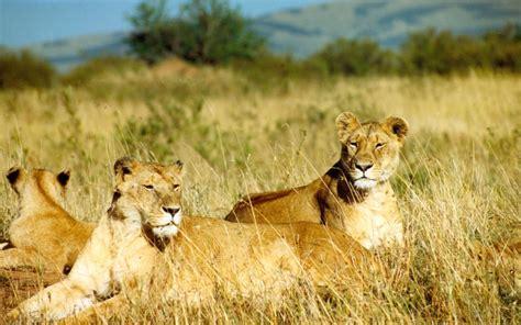 imagenes leones selva imagenes de leones imagen grupo de leonas observadoras