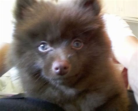 brown pomeranian puppies pomeranian breed information and pictures