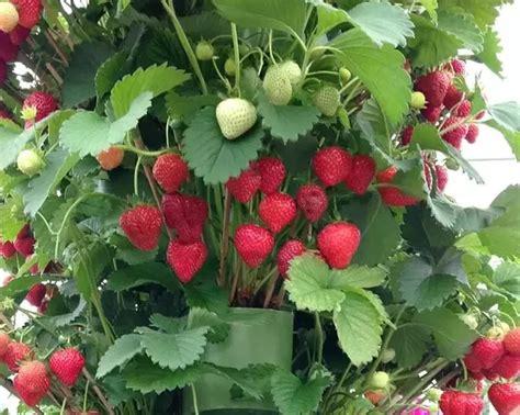 happen   grow  strawberry plant  grow