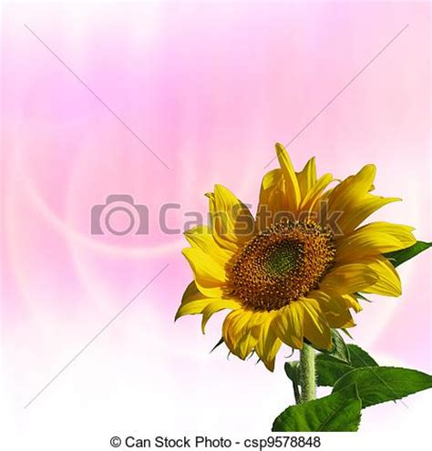 pink sunflowers images search pictures of sunflower with pink background csp9578848