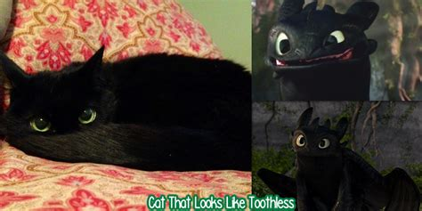 how to your cat like a randomly cat that looks like toothless yayomg