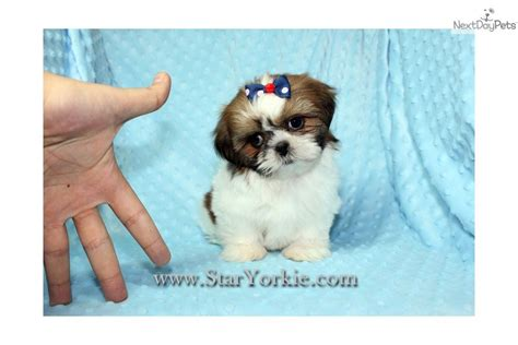 teacup shih tzu price shih tzu puppy for sale near los angeles california b5e5c4f4 c931