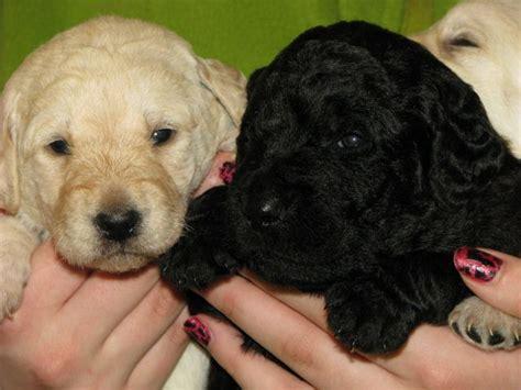 mini doodle welpen kaufen labradoodle welpen goldendoodle dogs of golden kennel