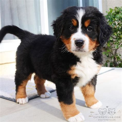 bernice mountain 25 best ideas about bernese mountain dogs on