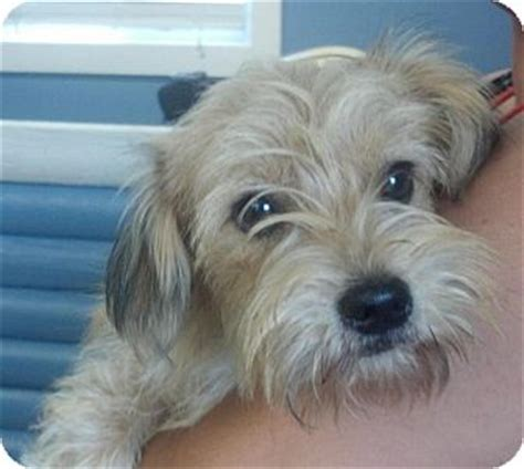wire haired terrier shih tzu mix benjamin adopted lm kittery me shih tzu terrier unknown type small mix